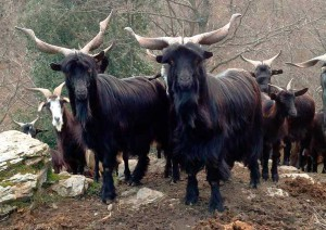 Photos, description goats breed Garganico characteristic for home breeding and maintenance