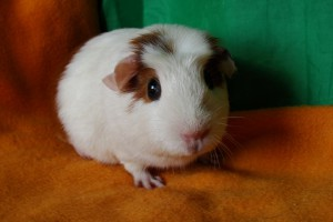 Photos, description Smooth guinea pigs breed characteristic for home breeding and maintenance