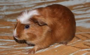 Фото, описание морской свинки породы Лайкленд, характеристика для домашнего разведения и содержания.