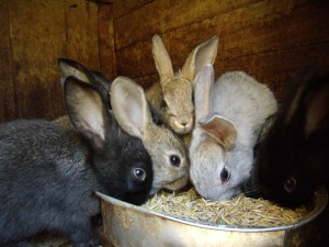 Photos, description of the body's need for mineral supplements rabbits