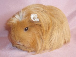 Description, photo Coronet guinea pig breed, characteristic for home breeding and maintenance