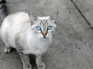 Photos, description cats breed Ojos azules, characteristic for home breeding and maintenance