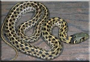 Photos, description Chess garden snake, snakes breed, characteristic