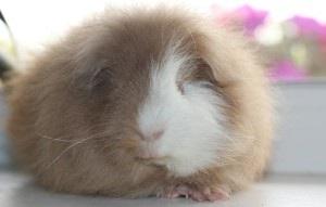 Photos, description guinea pigs breed Swiss Teddy, characteristic for home breeding.