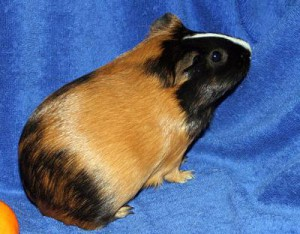 Photos, description guinea pig breed Satin smooth-haired, characteristic for home breeding and maintenance