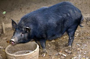 Photos, description pigs Ossabo islands, rocks characteristic of domestic breeding