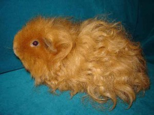 Photos, description guinea pig breed Texel, characteristic for home breeding and maintenance