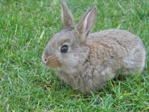 Photos, description rabbits diseases - tularemia is treated at home