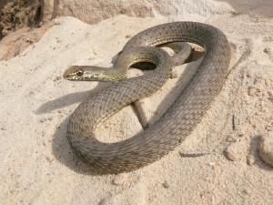 Photo, breeds snakes Yascherichnaya description, characteristics