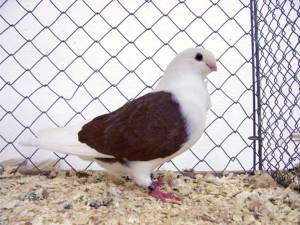 Description Aachen gulls breed with lacquer panels, characteristics and photos