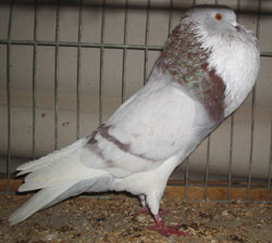 Фото, опис голубів породи аахенських дутиши, характеристика для домашнього розведення і утримання.