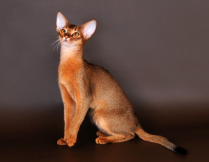 Photos, description breed Abyssinian cats, characteristic for home breeding and maintenance
