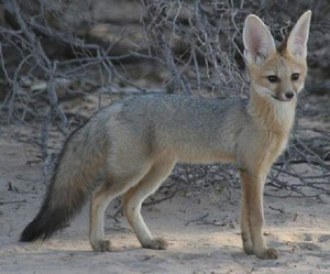 Photos, description Afghan breed foxes, especially the life that eat