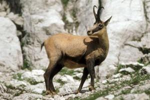 Description Alpine breed goats, chamois, characteristics, content and photos