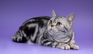 Фото, описание кошек породы Американская Короткошерстная, характеристика для разведения дома.
