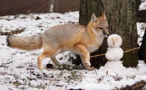 Photos, description of American fox, characteristic breed features of life