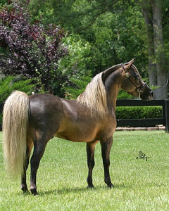 Description and characteristics of the American Shetland pony breeding, content and photos