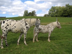 American breed of Pony, characterization, breeding, and photo content