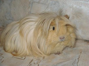 Photos, description Angora guinea pig, breed characteristics, household contents