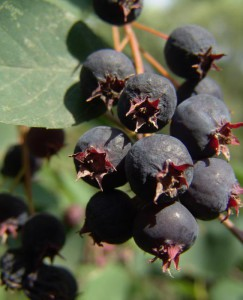 Planting technology, care chokeberry lemongrass, description and a photo