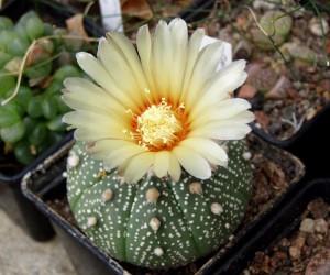 Фото, описание кактуса вида Астрофитиум, выращивание и уход в домашних условиях.