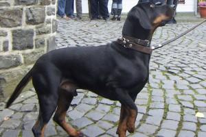 Фото, опис собак породи австралійський гладкошерстий бракк, характеристика для домашнього розведення і утримання.