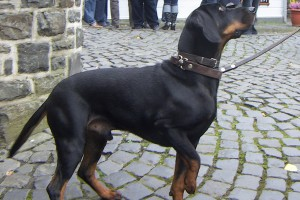 Photos, description breed dog Australian Brakk smooth coat, characteristic for home breeding and maintenance