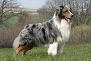 Photos, description Australian Shepherd dogs, breed characteristics to domestic breeding