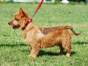 Фото, опис собак породи Австралійський тер'єр, характеристика для домашнього розведення.