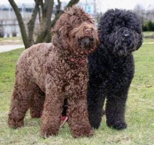 Фото, опис собак породи Барбет, характеристика для домашнього розведення і утримання.