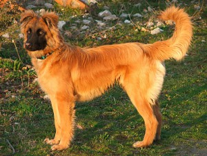 Photos, description Basque shepherd dog breed shepherd, characteristic for home breeding and maintenance