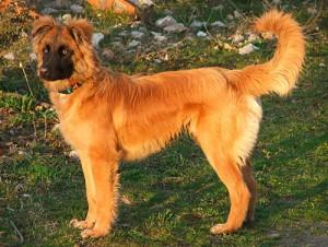 Фото, опис собак породи Баскська пастуша вівчарка, характеристика для домашнього розведення і утримання.