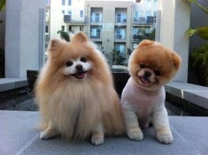 Photos, description breed dog Pomeranian dog, characteristic for home breeding