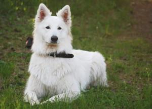 Description White Shepherd, characteristics, content and photos