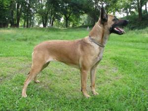 Фото, опис собак породи Бельгійська вівчарка малінуа, характеристика для домашнього розведення і утримання.