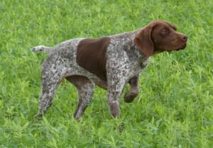 Photos, description dog breed Belgian Brakk, characteristic for home breeding and maintenance