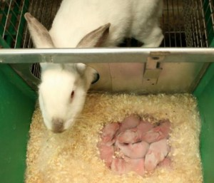 As a self-check sukrolnost rabbit at home, check the false pregnancy