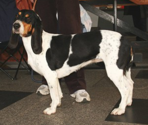 Photos, description dog breed Bernese Hound, characteristic for home breeding and maintenance