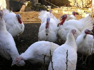 Photos, inyukov breeds description Big 9, characteristic for home maintenance and breeding
