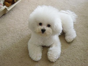 Photos, description dog breed Bichon Frise, characteristic for home breeding and maintenance