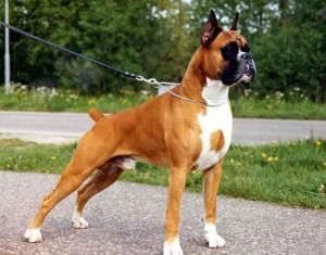 Photos, description Boxer dog breed characteristic for home breeding and maintenance