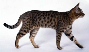 Photos, description breed cats California radiant, characteristic for home breeding