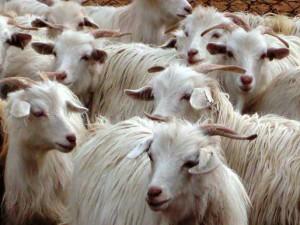Description breed goats chantogani, characterization, breeding, and photos