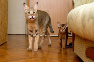 Photos, description breed cats Ceausu, characteristic for home breeding and maintenance
