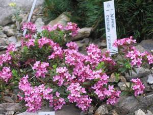 Photos, description common Daphne plants, growing in the home