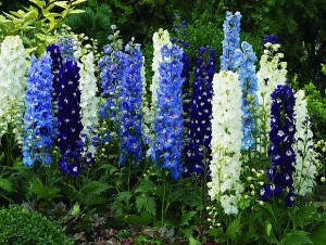 Planting, care, growing delphinium, description and a photo