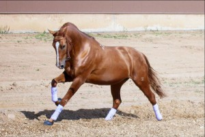Photos, description Don breed horses, breeding characteristics for home and contents