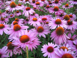 Planting, cultivation and maintenance of Echinacea purpurea, description and a photo