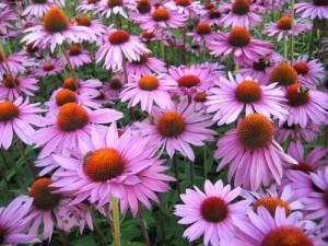 Planting, cultivation and maintenance of Echinacea purpurea, description and a photo