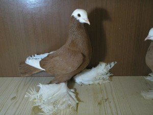 Photos, description pigeons breed Armavir Tumblers, characteristic for home breeding and maintenance